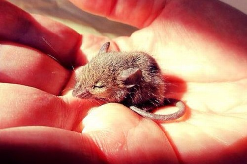 Лечение мышей