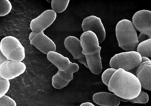 Malassezia lipophilis under micrograph