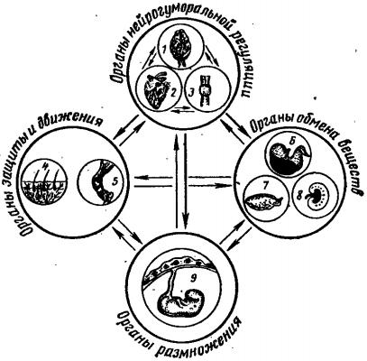 Схема морфофункциональных взаимосвязей между системами животного организма