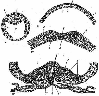 Схема строения зародыша на различных стадиях развития