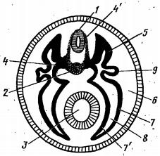 Схема поперечного разреза туловища зародыша позвоночного