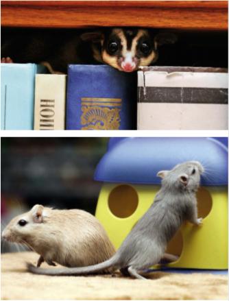 Лечение крыс в ветеринарном центре и на дому
