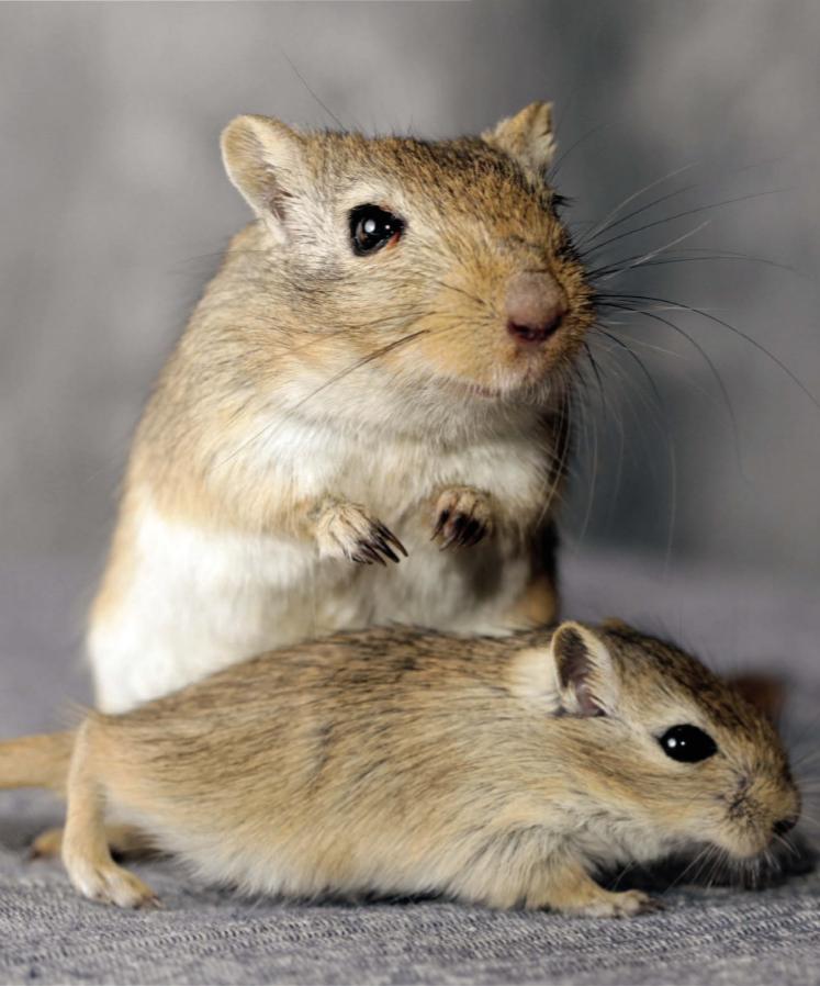 Лечение грызунов в ветеринарной клинике