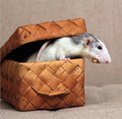 Анатомия крысы. Внешнее строение крысы