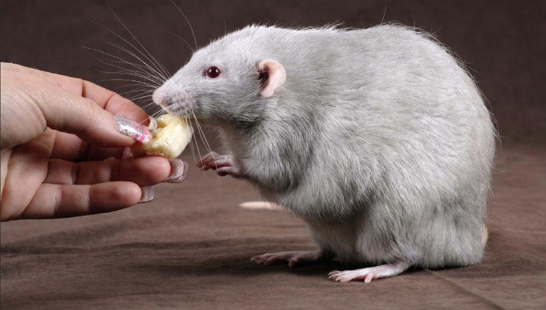 Анатомия крысы. Лечение крыс в ветклинике и на дому
