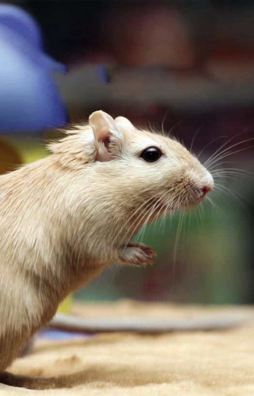 Анатомия крысы. Внешнее строение крысы. Скелет
