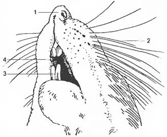 Лечение крыс в ветклинике и на дому. Вызов ветеринара