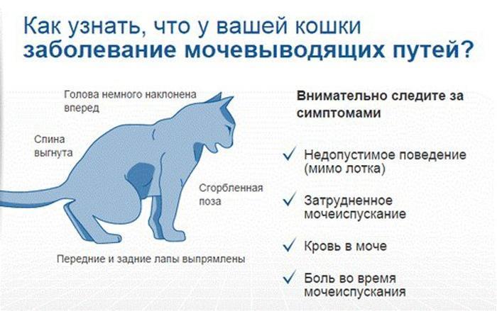 Гематурия схема лечения у кошки
