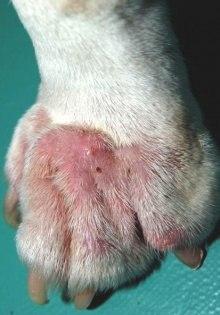 лечение малассезиозного дерматита у кошек