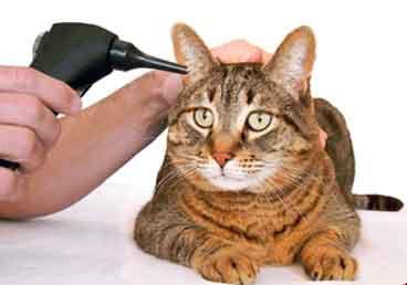 Эффективное лечение кошек, инвазированных ушным клещом