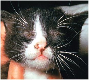 Лечение вирусного конъюнктивита у кошек